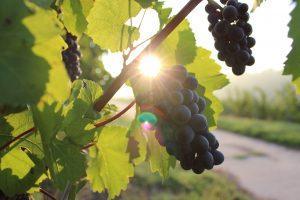 Die Saperavi-Rebe wird, wegen ihrer Farbkraft und Säure, in Georgien auch Mutter der Rotweine genannt. Bildquelle: pixabay.de
