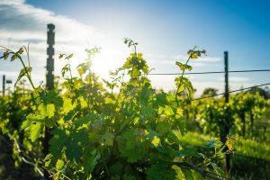 Georgische Weine gehören zu den ältesten der Welt. Bildquelle: pixabay.de