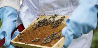 Arbeit am Bienenstock. Quelle: Bine Bellmann