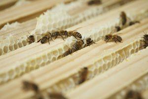 """Wer nicht hilft, fliegt raus! Jede faule Biene oder """"Drohne"""" wird aus dem Stock geworfen. Quelle: Bine Bellmann"""