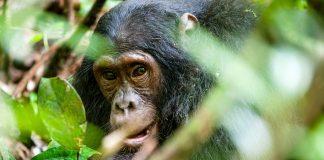 Jane Goodall hat ihr Leben den Schimpansen verschrieben und kämpft seit Jahrzehnten für deren Schutz. Bildquelle: Shutterstock.com
