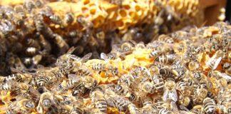Bienensterben. Quelle: Pixabay.de