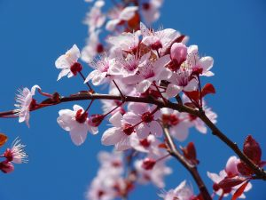 Auch Doris Dörrie ließ sich von den hübschen Kirschblüten inspirieren. Quelle: Pixabay.com