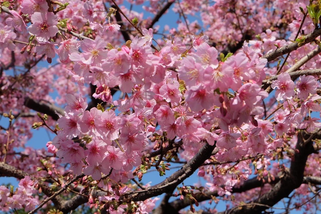 Genau wo kirschblütenfest hamburg Kirschblütenfest heute