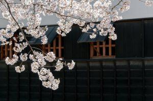 Das Kirschblütenfest ist heutzutage ein japanisches Volksfest, früher war dies ein Privileg der Adeligen. Quelle: Pixabay.com