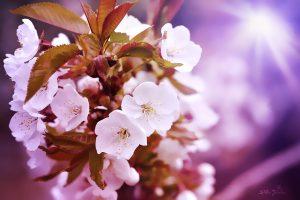 Die Kirschblüte: Ein Symbold für Leben und Vergänglichkeit. Quelle: Pixabay.com