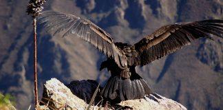 Der nordamerikanische Kondor. Quelle: Shutterstock.com