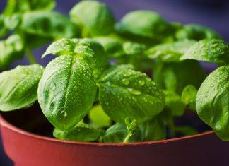 Basilikum ist eines der beliebtesten Küchenkräuter. Bildquelle: Pixabay.com