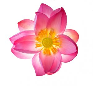 Blumensträuße trocknen – so klappt's! Quelle: istock/pink lotus flower isolated on white