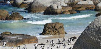 Pinguine am Kap der Guten Hoffnung. Bildquelle: Shutterstock.com