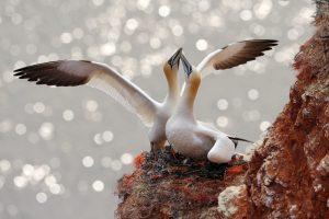 Viele besondere Vogelarten brüten ihre Küken auf Helgoland aus. Bildquelle: Shutterstock.com