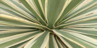 Der Agavendicksaft wird aus dem Fruchtfleisch der Agave hergestellt. Quelle: pixabay.de