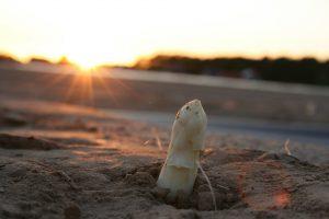 Sobald die Spitzen durch den Boden brechen ist es Zeit zum Spargelstechen. Bildquelle: pixabay.de