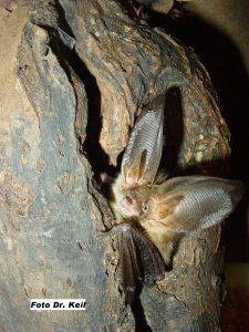 Fledermäuse nisten meist an versteckten Orten und werden bei Bauarbeiten oder Fällungen verletzt. Bildquelle: BUND Fledermauszentrum