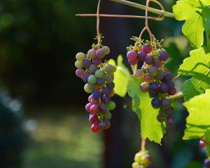 Beim nächsten Kroatien Urlaub sollten Sie unbedingt den kroatischen Wein testen. Bildquelle: pixabay.de