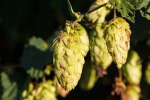 Hopfen, Malz und Hefe. Die alten Sumerer waren die ersten die lernten wie man aus diesen drei Zutaten Bier braut. Bildquelle: pixabay.de