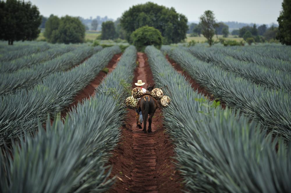 Die Agave wird hauptsächlich in Mexiko angebaut, wo der der Agavendicksaft schon lange üblich ist. Quelle: shutterstock.com