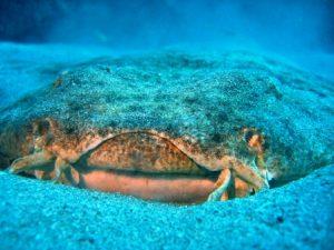 Engelhaie sind vor allem vor den Kanarischen Inseln zu finden. Bildquelle: Jandia Divers