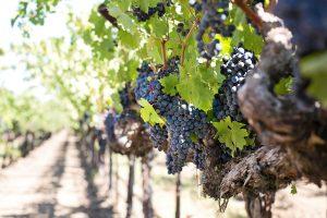In den letzten Jahren nahm die Zahl der Weinbauern in Armenien wieder zu. Bildquelle: pixabay.de