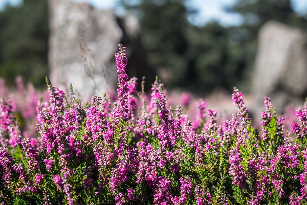 Von April bis September kann man wieder Europas größte Heidelandschaft bestaunen. Bildquelle: pixabay.de