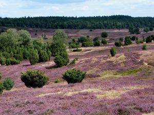 Die Lüneburger Heide zeigt sich wieder von ihrer schönsten Seite! Bildquelle: pixabay.de