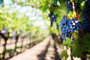 Man vermutet das bereits die Römer Wein nach Großbritannien brachten. Bildquelle: pixabay.de