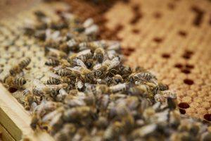 Die fleißigen Bienen bei der Arbeit. Die Aufgaben in einem Bienenstock sind klar verteilt. Bildquelle: Bine Bellmann