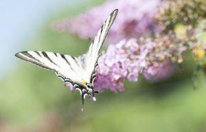 Die Buddleja oder auch Schmetterlingsflieder genannt bezaubert nicht nur durch Farbe, sondern auch durch die Vielzahl der Schmetterlinge. Bildquelle: shutterstock.com