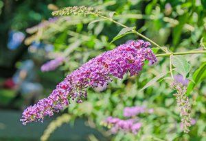 An einem sonnigen und dennoch halbschattigen Plätzchen wächst der Schmetterlingsflieder besonders gut. Bildquelle: shutterstock.com