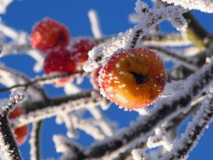 Die Bauernregel besagt, dass wer die Eisheiligen abwartet, keine Frostschäden an seiner Ernte erleidet. Bildquelle: pixabax.de