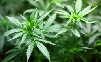 Cannabis - Droge oder Medizin? Bildquelle: Pixabay.de