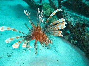 Richtig gefangen und zubereitet ist der Löwen- oder auch Feuerfisch ein echte Delikatesse. Bildquelle: Pixabay.de