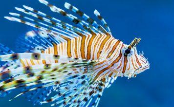 Der Löwenfisch sieht wunderschön aus, ist aber gefährlich für nahezu alle anderen Fische. Bildquelle: shutterstock.com