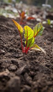 Der Strunk des Mangolds kann rötlich, gelb oder weiß sein. Gemischt auf dem Teller ergibt das eine herrliche Farbpracht. Quelle: pixabay.de