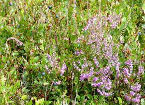 Heide und Blaubeeren im August. Bildquelle: Christiane Feill