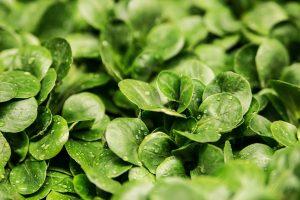 Als leckere Beilage - Feldsalat! Bildquelle: Pixabay.de