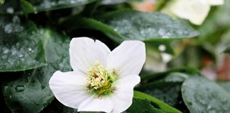 Der Lichtblick im trüben Herbst und Winter - die Christrose. Bildquelle: Pixabay.de