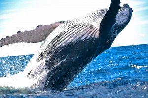 Während eines Besuches in San Diego besteht eine relativ hohe Wahrscheinlichkeit auch Wale zu sichten. Bildquelle: Pixabay.de