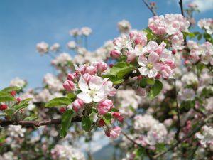 Südtirol zur Zeit der Apfelblüte zu erleben ist ein wahrer Augenschmaus. Bildquelle: Pixabay.de
