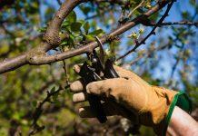 Der richtige Schnitt bei Bäumen will gekonnt sein. Bildquelle: shutterstock.com