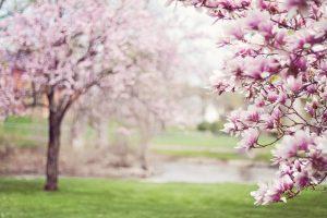 Magnolienbäume sollten besonders vorsichtig geschnitten werden. Bildquelle: Pixabay.de