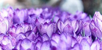 Husum versinkt im März in einem Meer von Krokussen. Bildquelle: Pixabay.de
