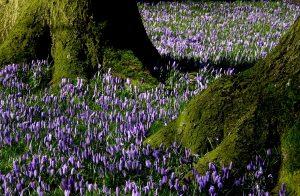 Ein wunderschöner Farbkleks im sonst noch tristen und grauen Norden. Die Krokusblüte in Husum. Bildquelle: Pixabay.de