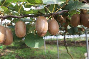 Ähnlich wie der Wein, wächst die Kiwi an einem Strauch. Bildquelle: Pixabay.de