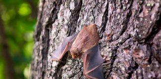 Fledermäuse bedürfen inzwischen eines besonderes Schutzes, da viele Arten vom Aussterben bedroht sind. Bildquelle: Pixabay.de