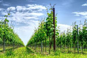 Weinberge und damit einhergehend guter Wein zeichnet das Markgräflerland aus. Bildquelle: Pixabay.de