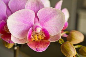 Orchideen unterstützen ein gutes Mikroklima im Schlafzimmer und wirken sich somit positiv auf die Schlafqualität aus. Bildquelle: Pixabay.de