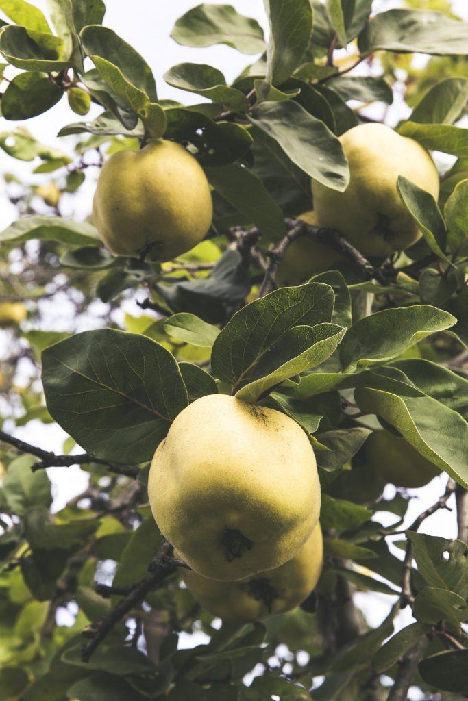 Optisch liegt die Quitte zwischen Apfel und Birne und wird in Deutschland nur selten als Obst angebaut. Bildquelle: Pixabay.de