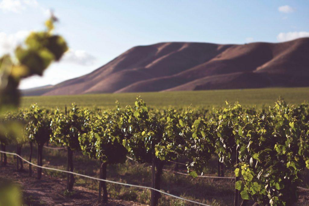 Die Traubensorte und das Anbaugebiet entscheiden letztlich über Geschmack und Qualität. Bildquelle: © Tim Mossholder / Unsplash.com