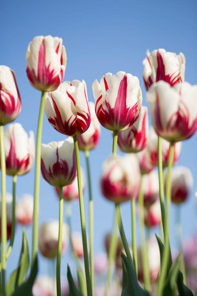 Mit frühblühenden Blumen bereiten wir nicht nur uns, sondern auch den Bienen eine Freude. Bildquelle: © Kwang Mathurosemontri / Unsplash.com